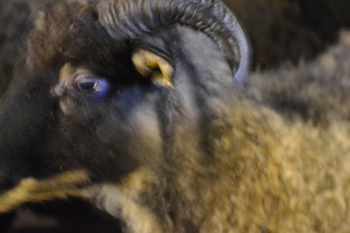 Asbjørn Hagas sauer før og etter klipping. Den eine væren har teip rundt hovudet for å stoppe blødning i hornfestet.
