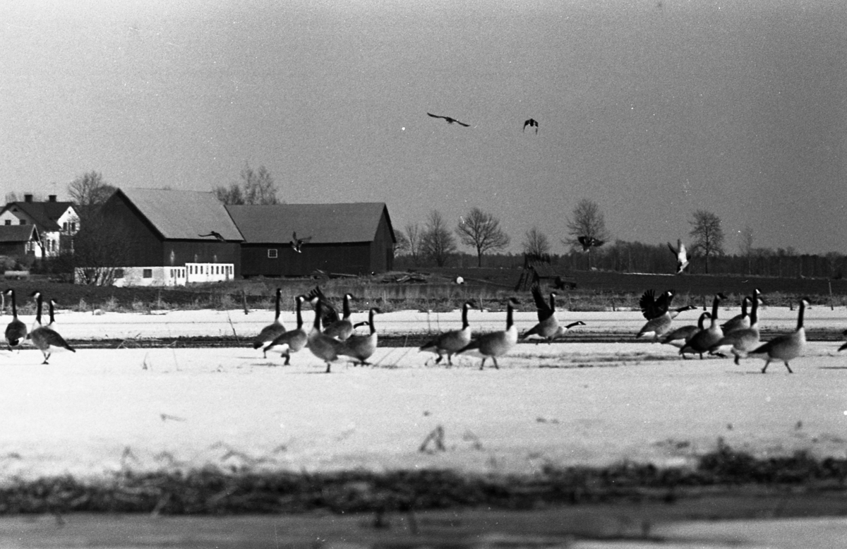 Fåglar, Canadagäss, bilder till ett reportage med Tord W En gård ses i bakgrunden. Snön ligger ännu kvar.