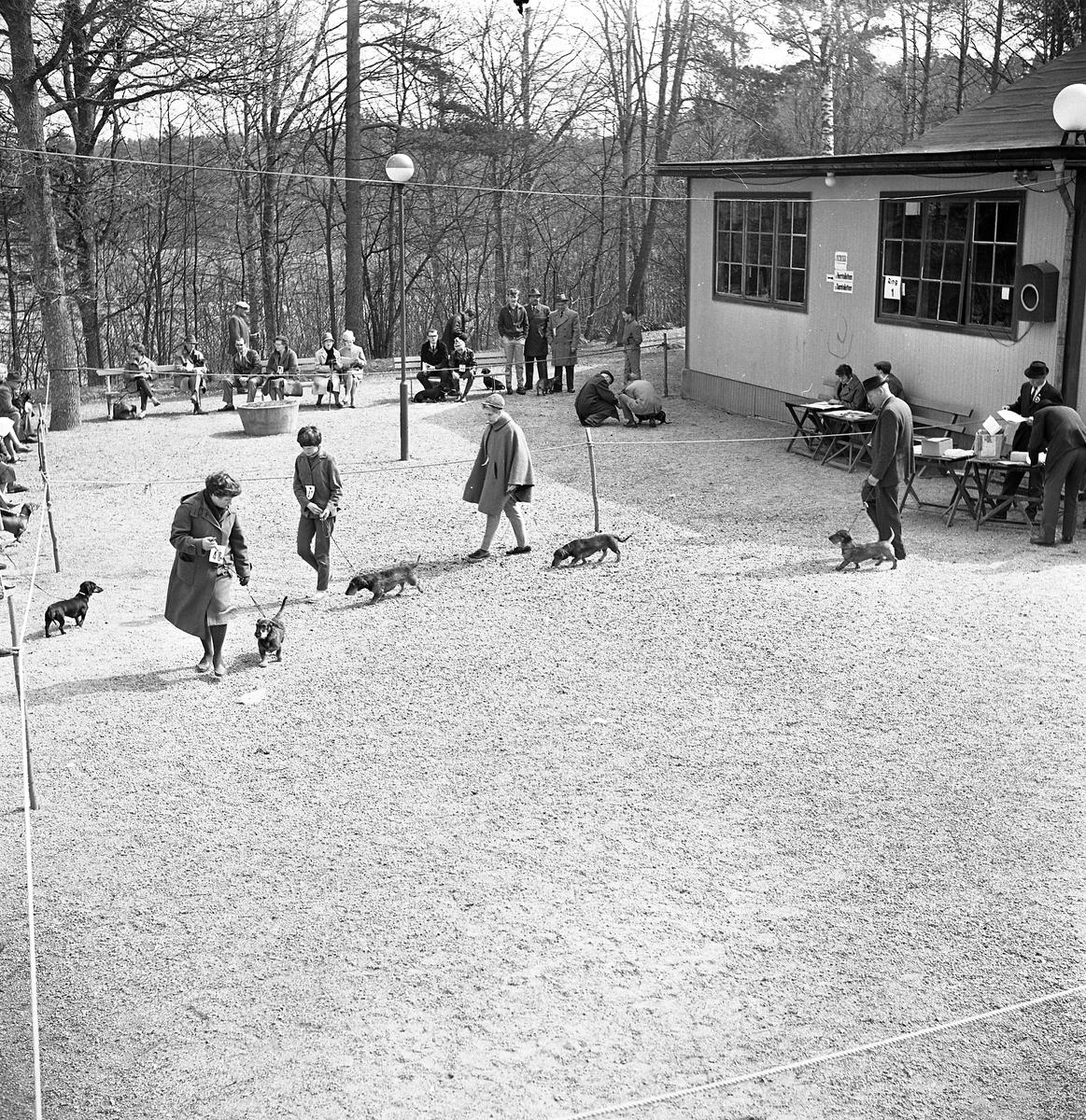 Hundutställning utomhus. Fyra personer visar sina strävhåriga taxar i utställningsringen. Publiken sitter på bänkar och ser på.