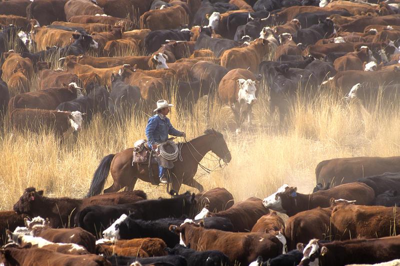 Foto av cowboy til hest med mange kuer. (Foto/Photo)