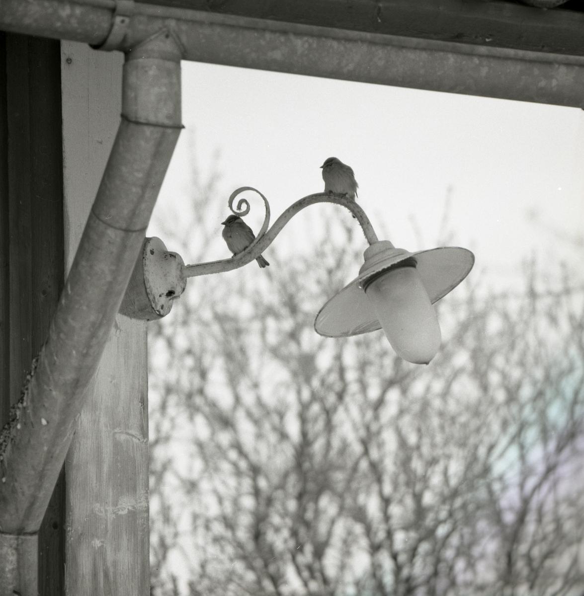 Två pilfinkar sitter på en utomhuslampa som är fastsatt i ett hus , 1971.