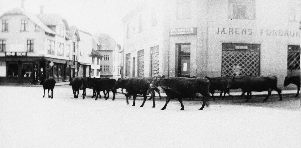 Bryne torg lørdag 20. april 1940 med kyr på rekke og rad som rundar hyrna ved Jæren Forbruksforening (Domus). Desse dyra måtte evakuerast på grunn av den tyske invasjonen og hadde vorte drivne til fots frå Sola og vart plassert på gardane rundt om i Timesokna.