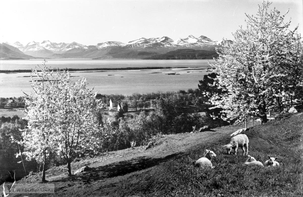 Kringsjå mot Vesnesfjellene, morelletrær.