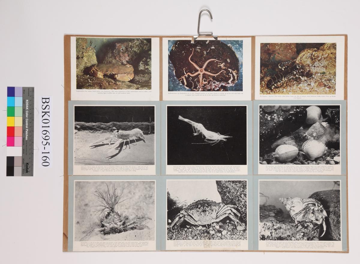 Diverse sjødyr, fotomantasje.