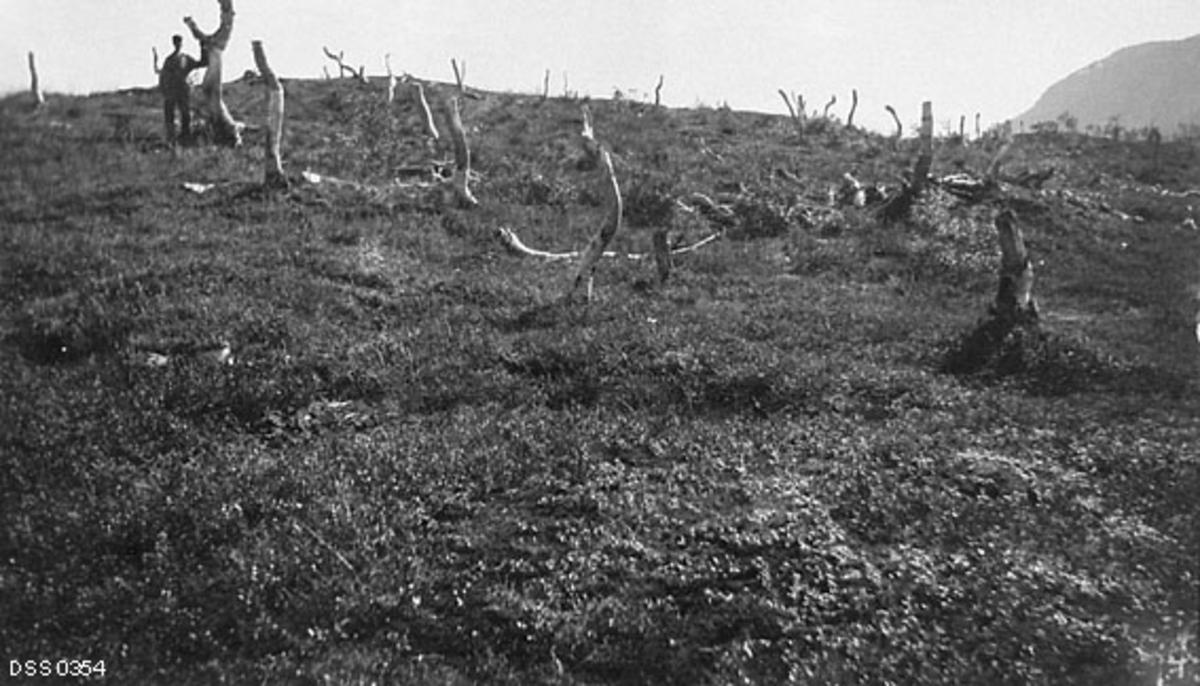 Fjellareal med lyngvegetasjon på bakken og en del bjørkestammer som er snauet for topper og greiner, slik at de har dødd uten at det har kommet gjenvekst.  En mannsskikkelse står ved en av stammene, som rager over hodet hans.  Fotografiet skal være tatt i Vassbrunskaret i Målselv i Troms i 1909.  Skogplanter Hilbert Helgesen, som tok dette fotografiet i 1909, og andre aktører i den norske skogadministrasjonen oppfattet dette som en skadelig driftsform som nærmest umuliggjorde gjenvekst og trykte skoggrensa nedover.   Fotografiet er tatt i forbindelse med ei av flere befaringer som ble avviklet i samband med en norsk-svensk strid om skogbehandlinga til samer som hadde vinterbosteder i Sverige, men sommerbeiter på norsk side av riksgrensa. Fra svensk side var man opptatt av å bagatellisere de konsekvensene samenes og reinsdyras bruk av den stedlige bjørke- og furuskogen fikk, mens de norske skogfunksjonærene som var involvert i denne saken hevdet at virksomheten gjorde store innhogg i naturressursene, noe som blant annet innebar senking av skoggrensa i klimafølsomme miljøer.