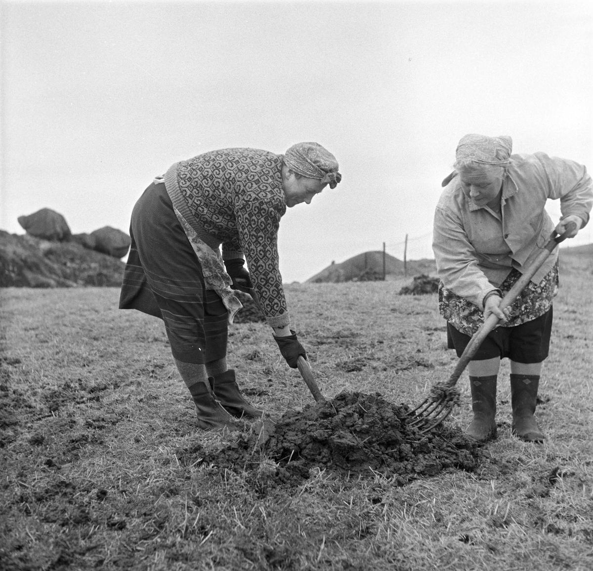 Jæren, 01.04.1957, våronna er i gang. To kvinner graver i jorda.