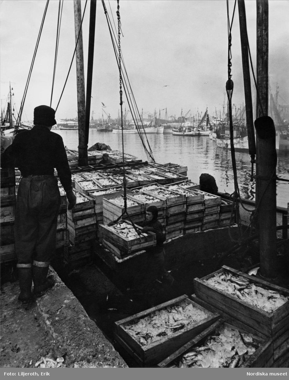 Lossning av fiskelådor i Göteborgs fiskehamn