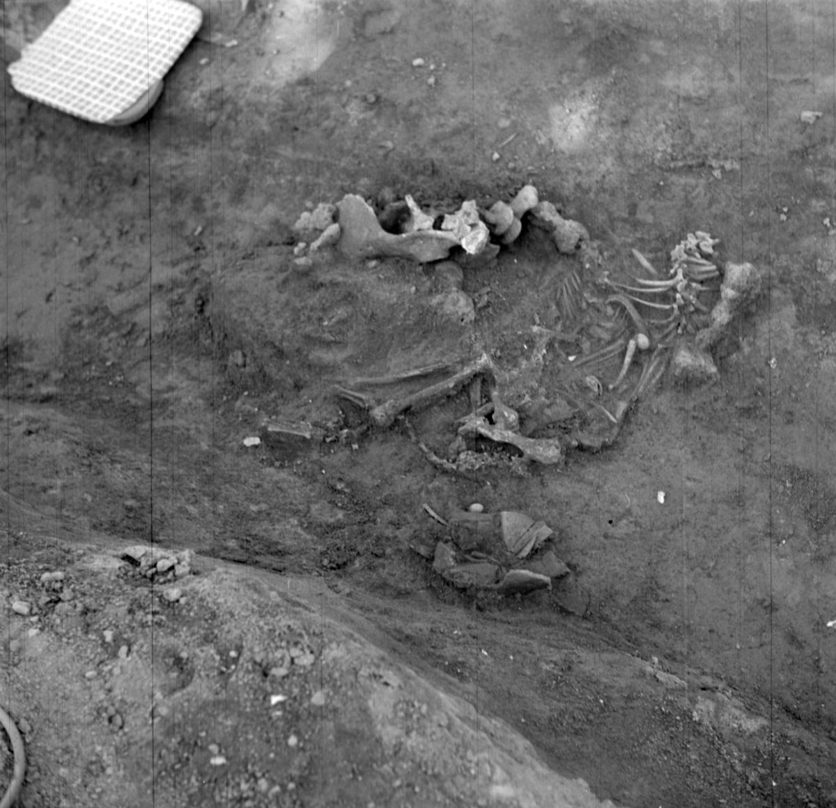 Prästgården, lerkärl och hundskelett grav 1 - Arkeologi Gamla Uppsala 1973