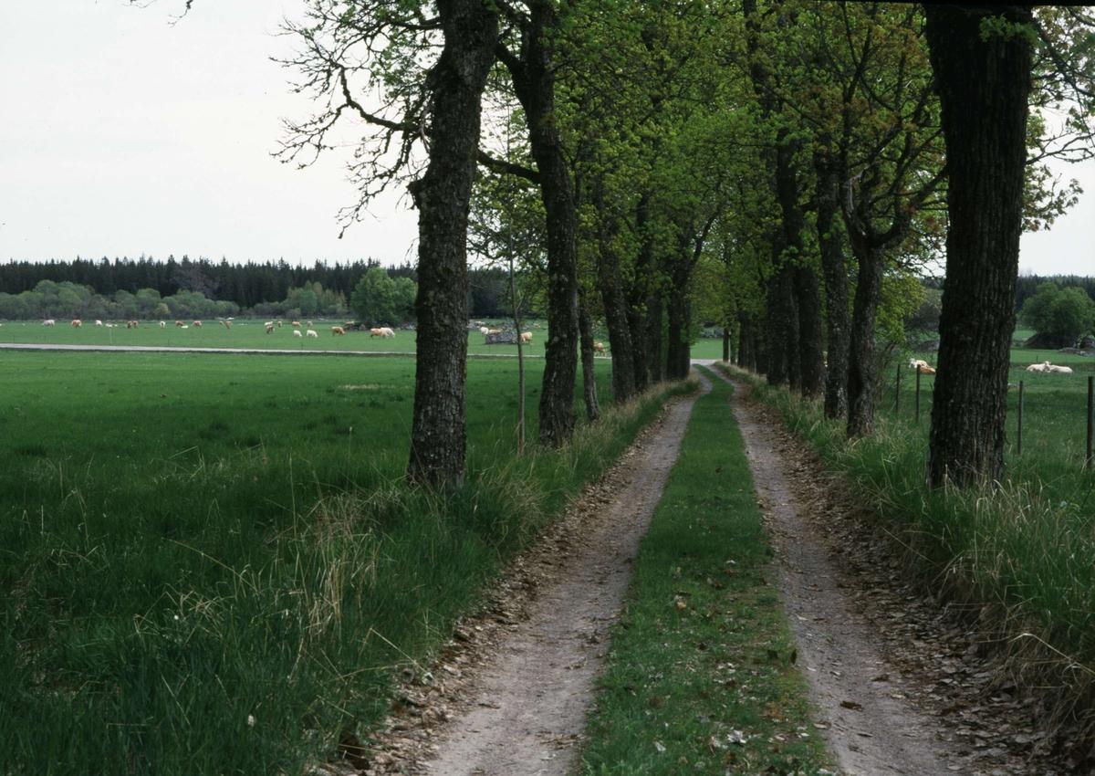 Väg med allé i Vendels socken, Uppland i maj år 2000