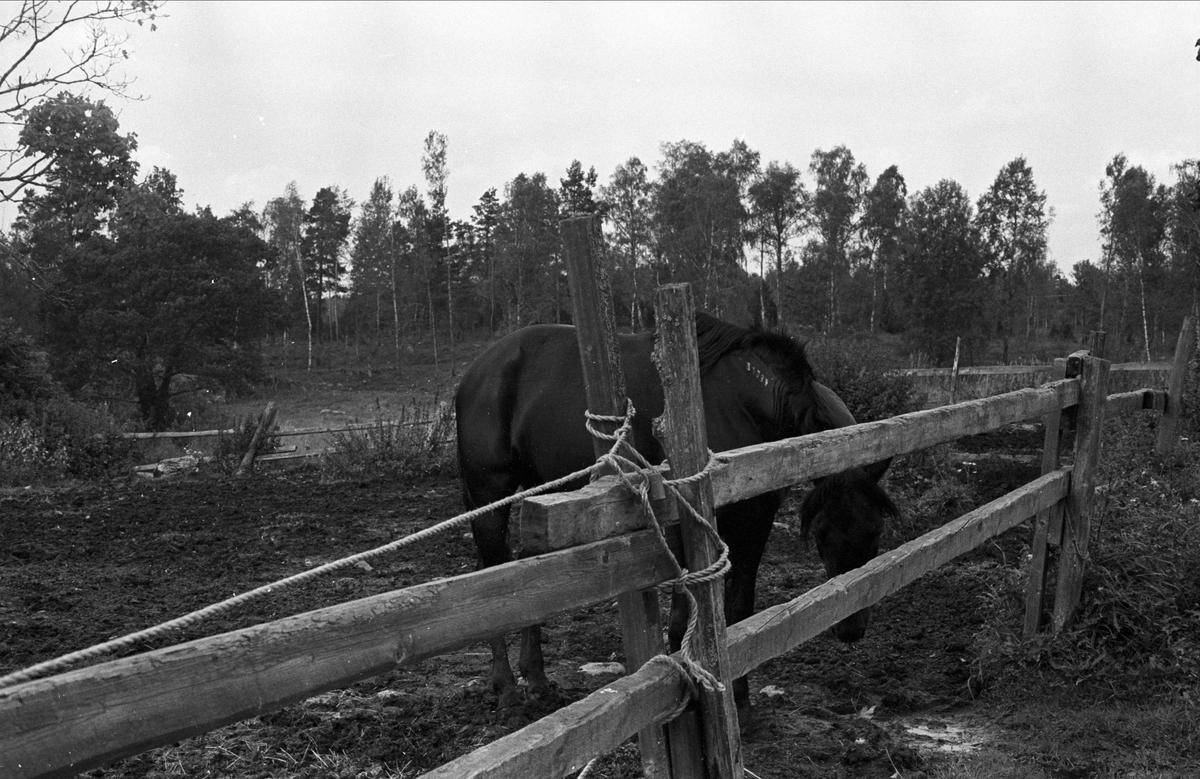 Häst, Seglinge gård, Almunge socken, Uppland 1987