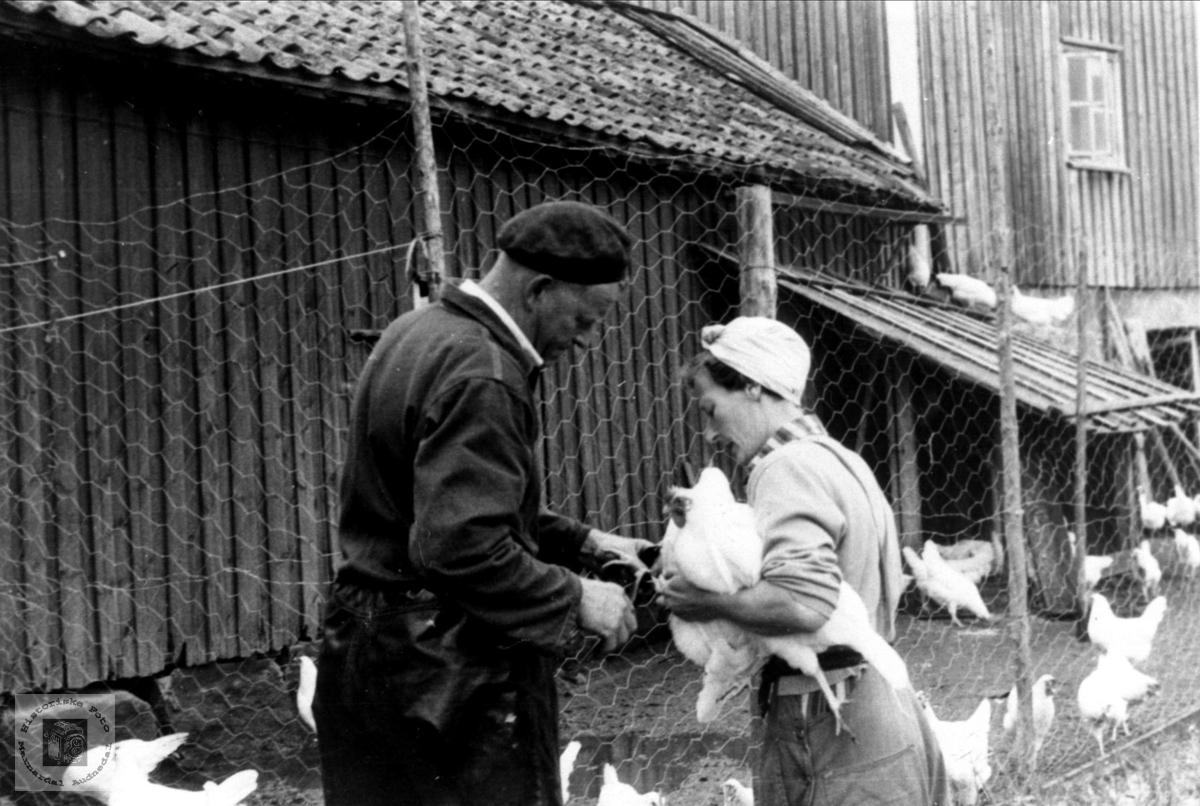 Ringmerking av høns, Trygsland Bjelland.
