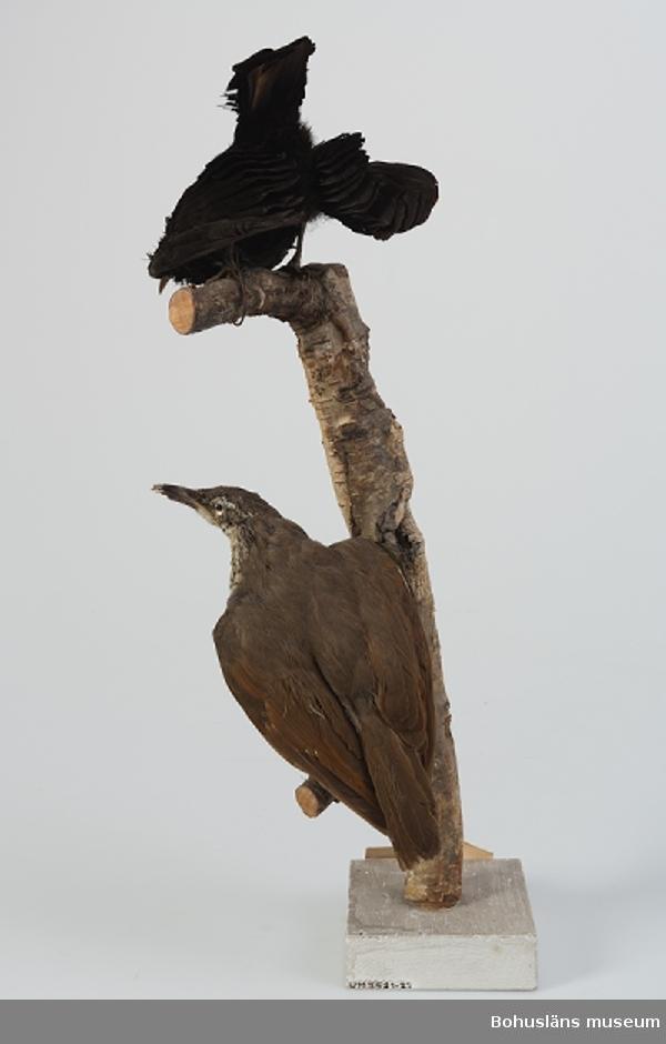 Text på handskriven etikett: No 79 och 80 Kcb 81, 82 Ptilarchis paradiseus [Ptiloris paradiseus], den övre hane, den undre hona skjuten Australien, Queensland 1891. Skänkt 1892 till Uddevalla museum av Herr Andr. [Andreas] Sundberg å Stenung i Norum Bohuslän.   Ur handskrivna katalogen 1957-1958: Ptilarchis paradiseus, 2 st. på samma kvist Queensland, Australien 1891  Ang. Förvärv, se UM003435.  Grönfjällig sköldparadisfågel; UM003522, hona, monterad tillsammans med UM003521, hane.