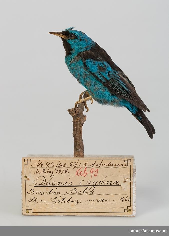 Text på handskriven pappersetikett:  Kcb 90. Dacnis cayana, Brasilien, Bahia. Skänkt av Göteborgs museum 1862.  Ur handskrivna katalogen 1957-1958: