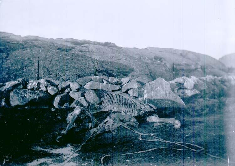 """Enligt text som medföljde bilden: """"Skelett af en häst Ulseröd (Lysekil) 6/1 1902."""""""