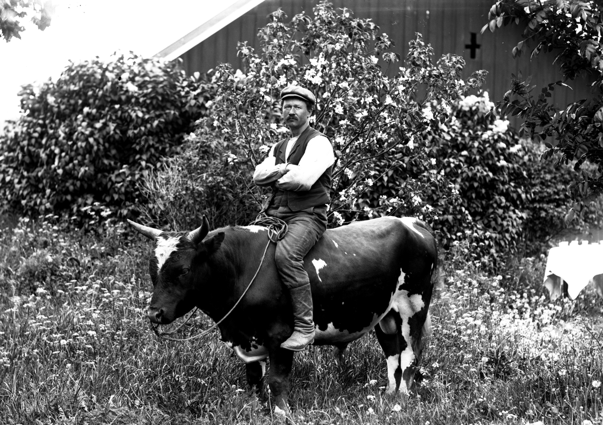 En man som porträtteras sittande gränsle på en tjur