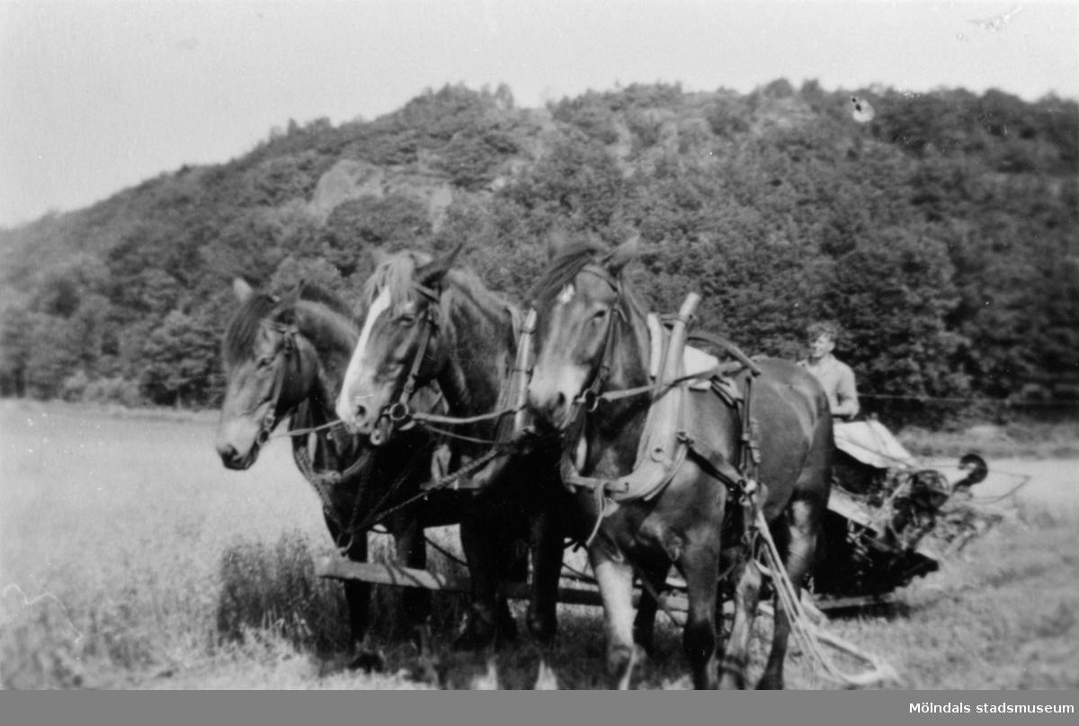 3 st. Nordsvenska hästar drar ett slåtteraggregat på Ersgårdens ägor, 1930.