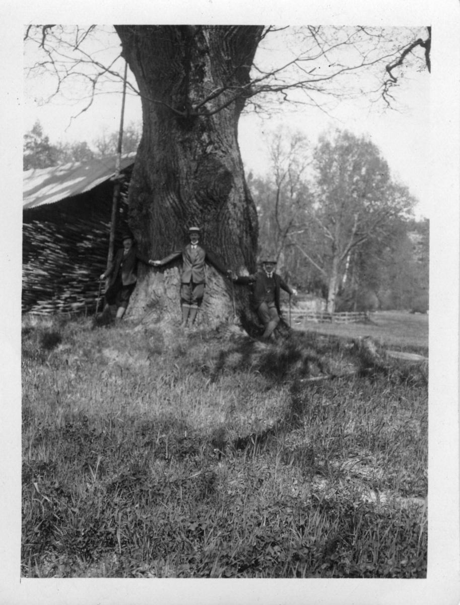 'Text på baksidan av fotot: ''Fridlyst ek å Aspenäs (vid sjön Aspen). (Genomskärning ca 3 m, höjd 25-27m). ::  :: 3 män stående framför eken, med armarna utsträckta kring stammen. I bakgrunden byggnad och hägnad. ::  :: Ingår i serie med fotonr. 895:1-4.'