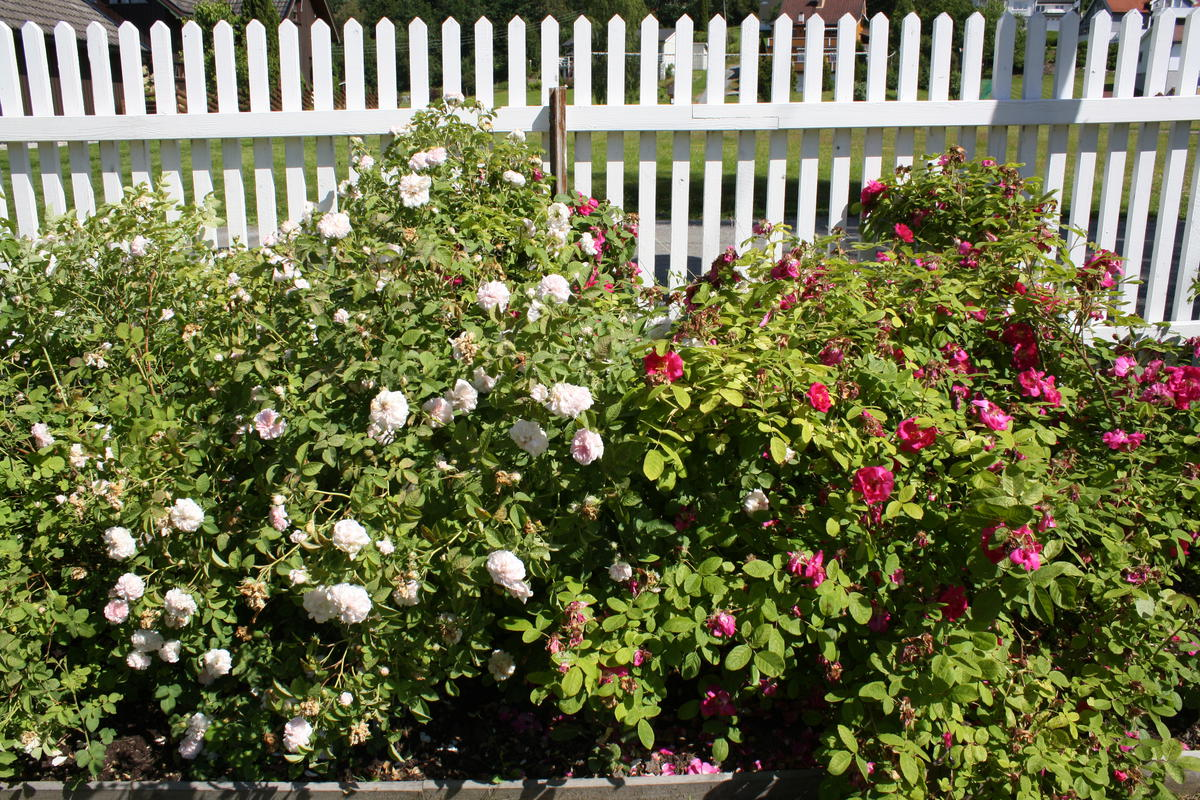 Til venstre den lys rosa rosen Gunhild el Widmark og til høyre den karminrøde Great Western.