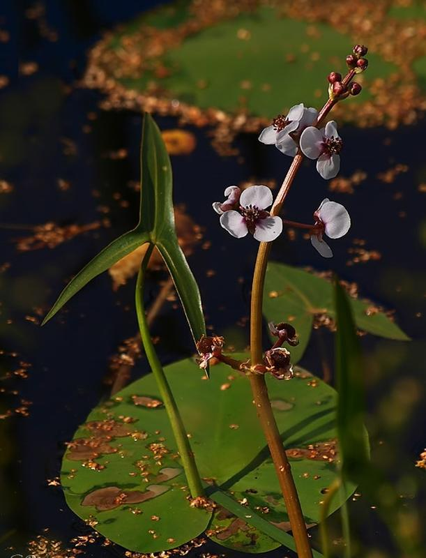 Foto av en vannplante