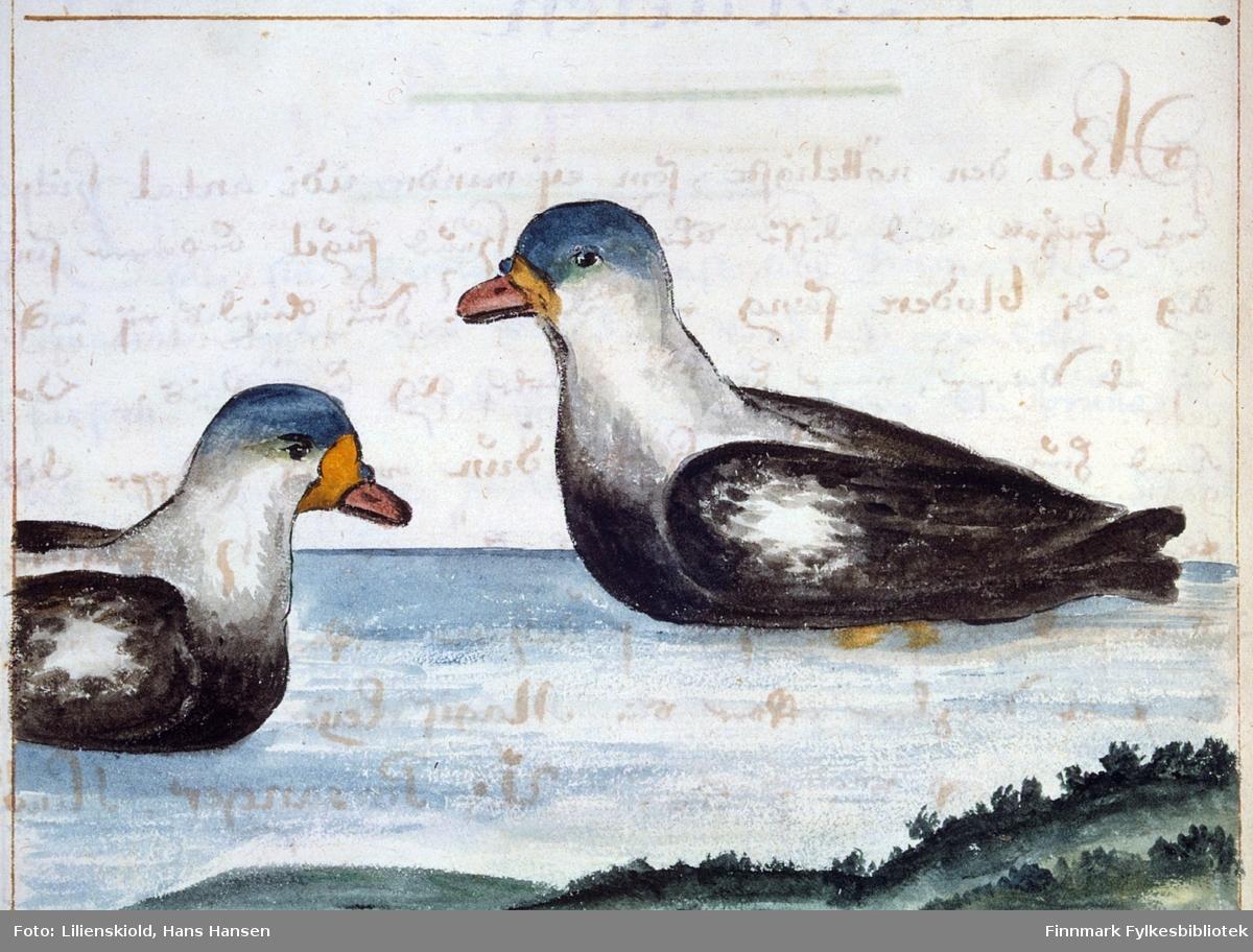 Illustrasjon til beskrivelse av Haaf-Aarre - sjøorre eller svartand