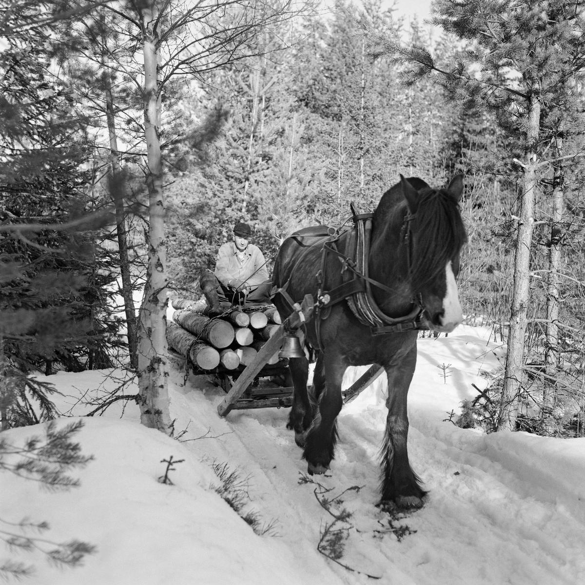 Tømmerkjøring med hest i Stavåsen 1971