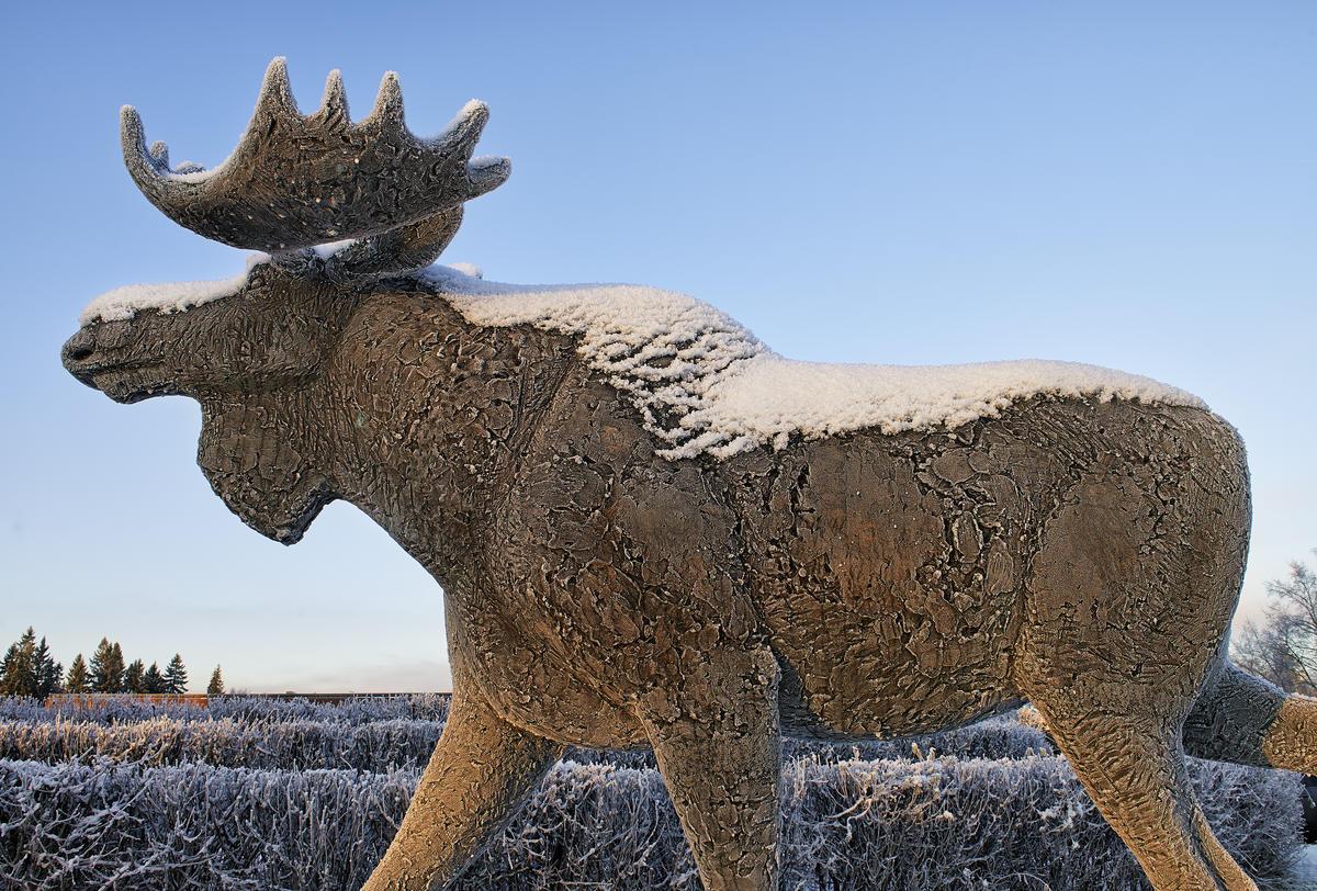 Snø og rim på elgskulpturen ved Norsk Skogmuseum
