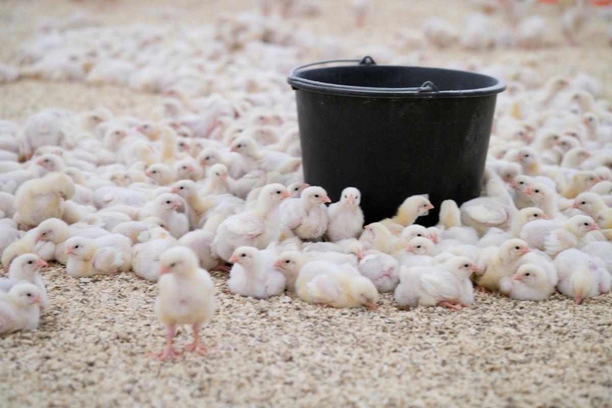 Kyllinger flokkes rundt en sort bøtte i kyllingefarm