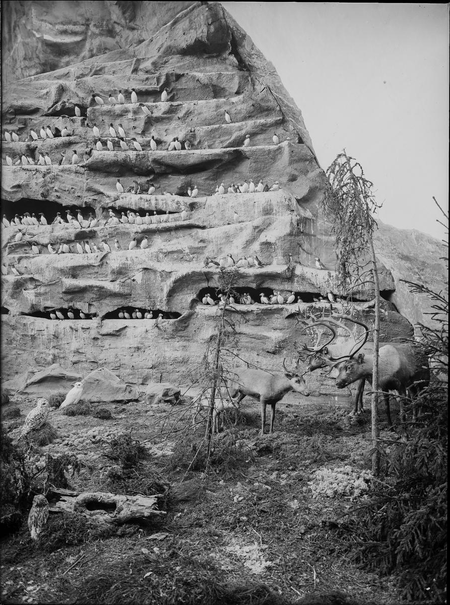Diorama från Biologiska museets utställning om nordiskt djurliv i havs-, bergs- och skogsmiljö. Fotografi från omkring år 1900. Biologiska museets utställning Ren Rangifer Tarandus (Linnaeus) Lunnefågel Fratercula Arctica (Linnaeus) Sillgrissla Uria aalge (Pontoppidan)