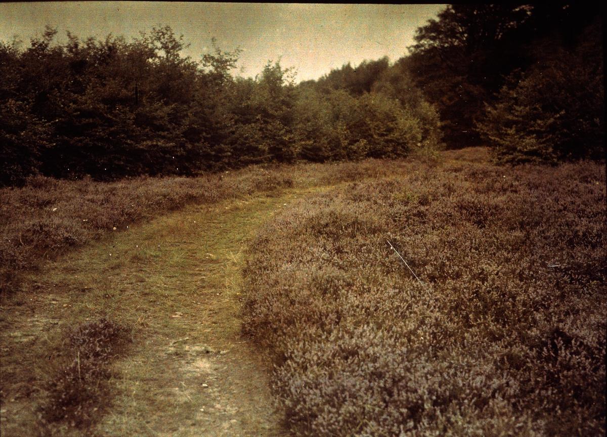 """Lumières-autokrom. """"Ljunghed"""" på Kullen, Arild. Fotograferat i aug. 1912 med f/12, 15 sek. exponering."""