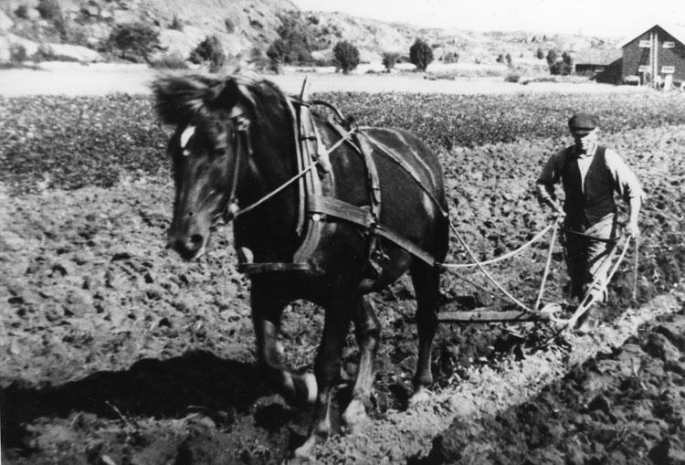 Höstplöjning med häst på Skaftö på 1930-talet