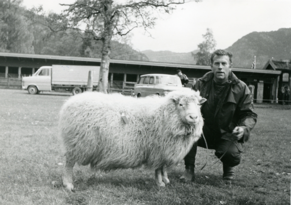 Harald Aune mønstrar sau.