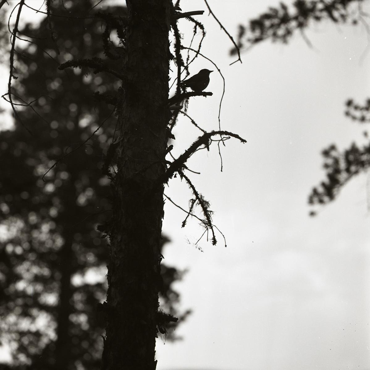 Det är en molnig sommardag 1961 och en flugsnappare har landat på en gren. Dagens molniga väder bildar lagom starkt motljus för att fånga och framställa fågelns siluett.  .