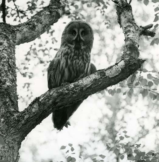 Lappuggla i träd, 18 juni 1960.
