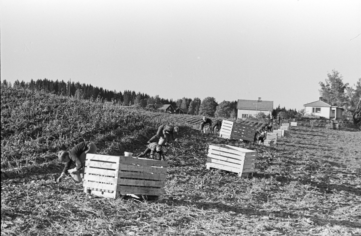 Alhaug, Alu østre, potetplukking,potetkasser,traktor,barn,