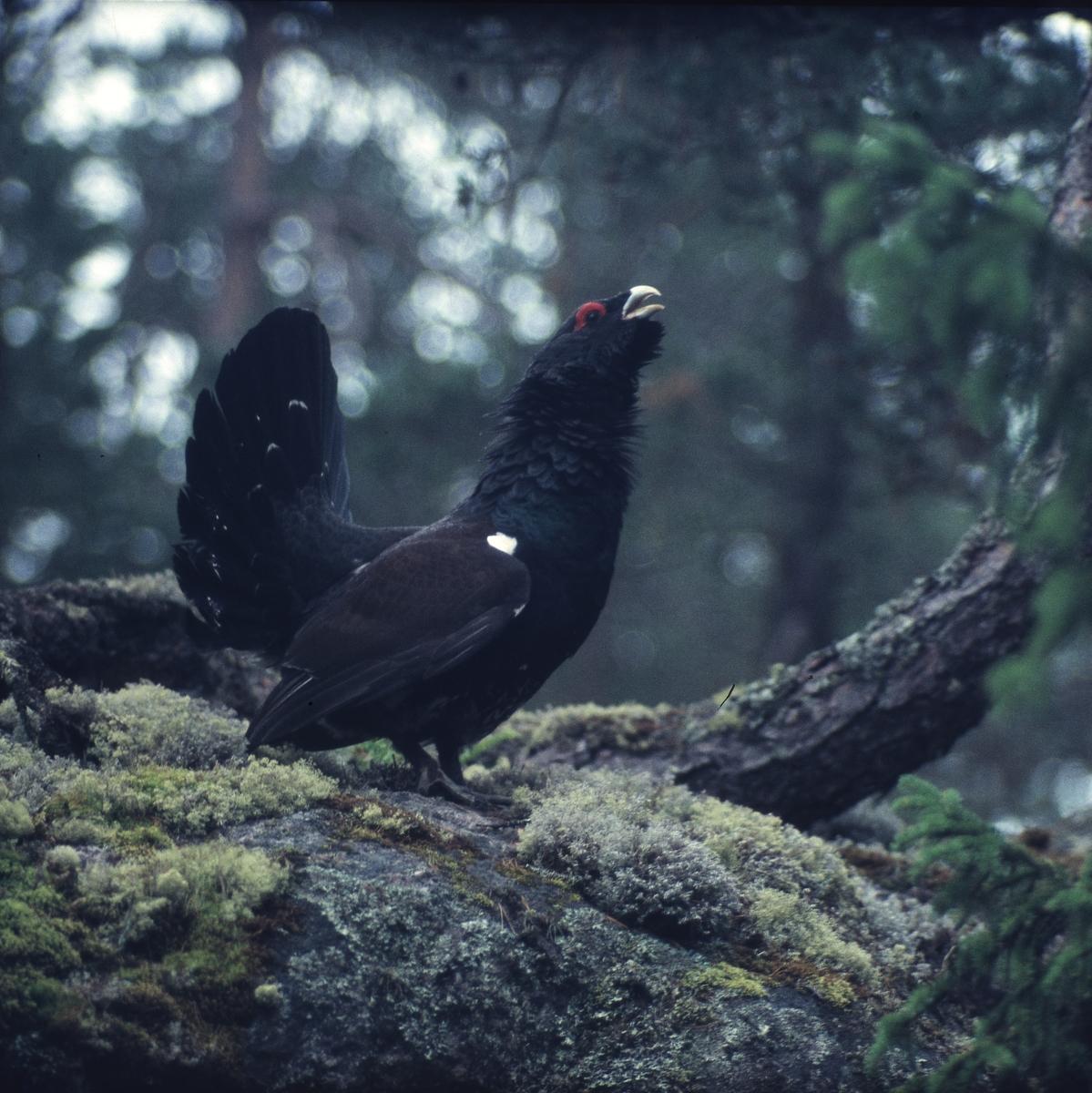 En tjädertupp på mossig sten i skogen.