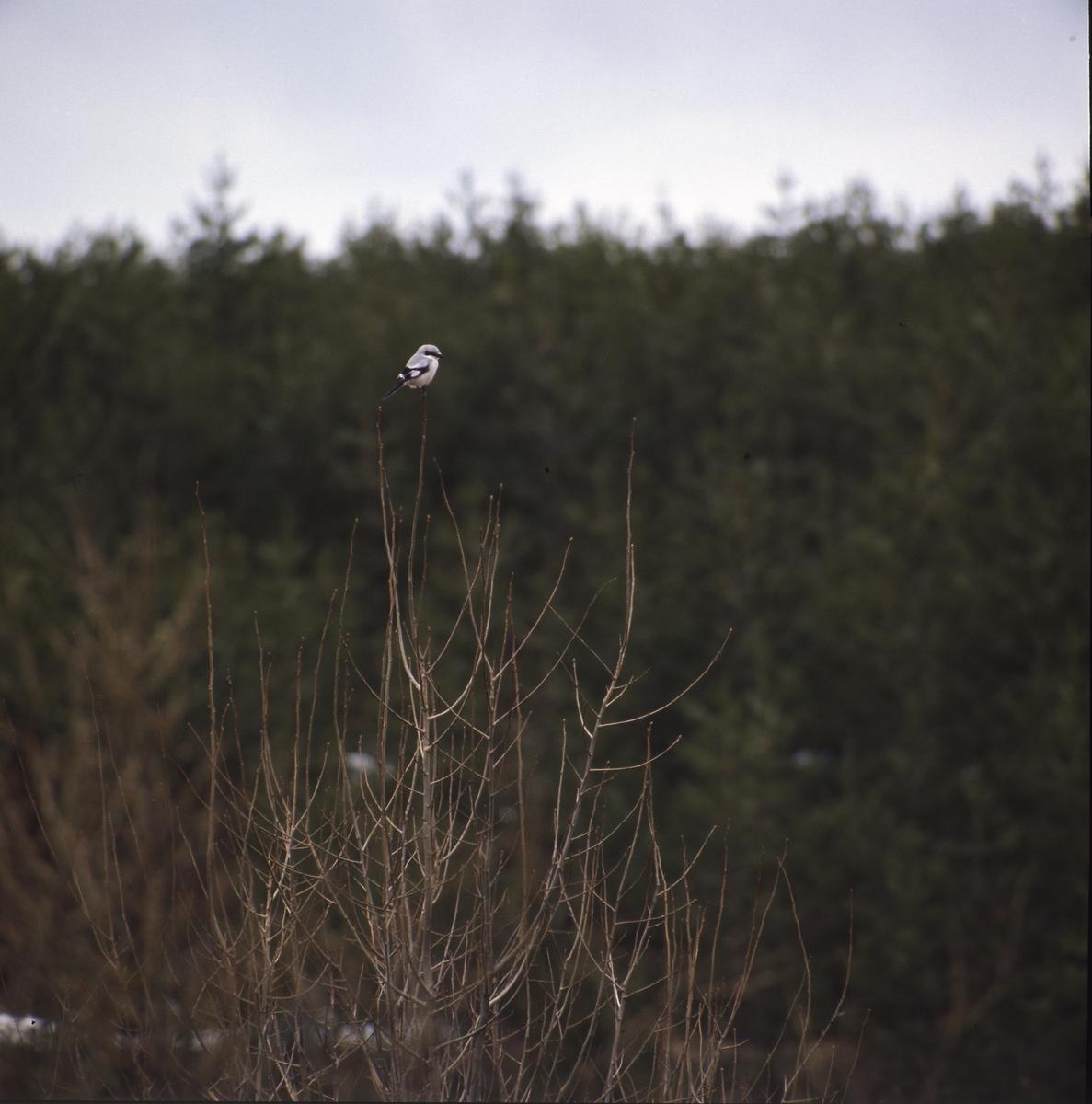 En varfågel sitter i toppen av en buske famför mörk barrskog.