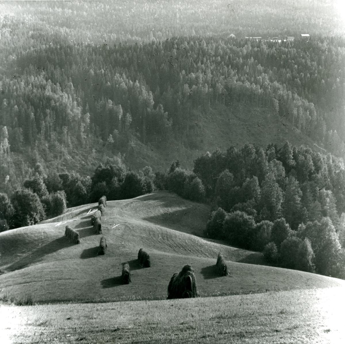 Höhässjor på åkersläntar vid Indalsälvens dalgång sommaren 1957.