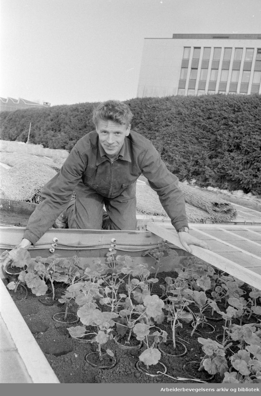 Sogn gartneri. Kjell Olsen med pelargonia. Mars 1971
