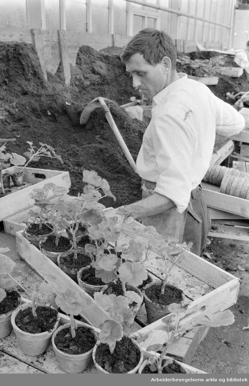 Sogn gartneri. Nils Brennelien. Mars 1971
