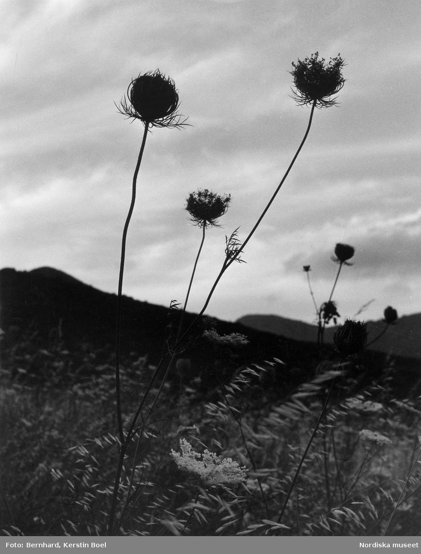 Korsikanskt bergslandskap med blommor i förgrunden