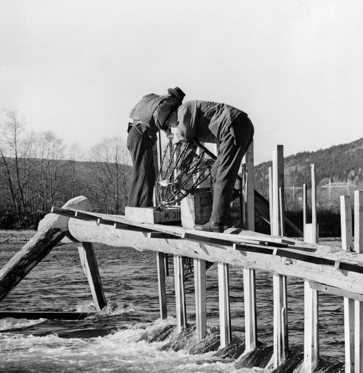 Tømming av «mæler» (ruser) på en såkalt «mælkrakk» på Øyra i Fåberg, i den nedre delen av Gudbrandsdalslågen.  Her ser vi to karer på «gonga» (gangbanen) på den ytre delen av fangstinnretningen.  En av dem sto bøyd over en mæl, antakelig for å kunne plukke fisk ut av fangstkammeret.  Øvde fiskere kunne ellers overføre mesteparten av fangsten fra mælene til fiskekasser (som her) eller sniker (bæreredskaper av flettverk) ved å gjøre et par raske kast med mælene.  Dette kaltes å «skrulle» eller «vrenge».  Mælkrakken var et stativ som ble oppstilt vinkelrett fra elvebredden og utover i forholdsvis hurtigstrømmende vann.  På motstrøms side av dette stativet ble det montert ei lang rekke av «mæler» – en lokal betegnelse på rusene som ble brukt under dette fisket.  Disse innstengingsinnretningene sto tett i tett med de traktformete «inngangene» til fangstkamrene på den sida som vendte nedover i vassdraget.  Mælkrakkene var med andre ord et redskap som fisket lågåsild (Coregonus albula) når fisken var på veg oppover Lågen for å gyte.  Dette skjedde i høstsesongen når vanntemperaturen sank til 6-7 grader, vanligvis omkring månedsskiftet september-oktober.  Dette fotografiet viser den ytre delen av mælkrakken som ble brukt på Øyra da Tore Fossum og Norsk Skogbruksmuseum organiserte opptak til en dokumentasjonsfilm om lågåsildfisket i 1962-63.  Det største elementet i en mælkrakk var en 10-20 meter lang tømmerstokk.  Denne stokken skulle stilles slik at den ble stående minst en meter over det strømmende vannet, med den tunge rotenden ytterst og den lettere toppenden inne på elvebredden.  Rotenden kvilte på skråttstilte bein – «stetter» – som ble gradet inn i yteveden på tømmerstokken og forbundet ved hjelp av et tverrtre, en såkalt «bordås».  Bærekonstruksjonen for den ytre delen av mælkrakken fikk med andre ord en slags A-form, men den stetten (beinet) som skulle stå nederst var vanligvis noe grovere og lengre enn den øvre, for her var belastningen fra det strømmende vannet s