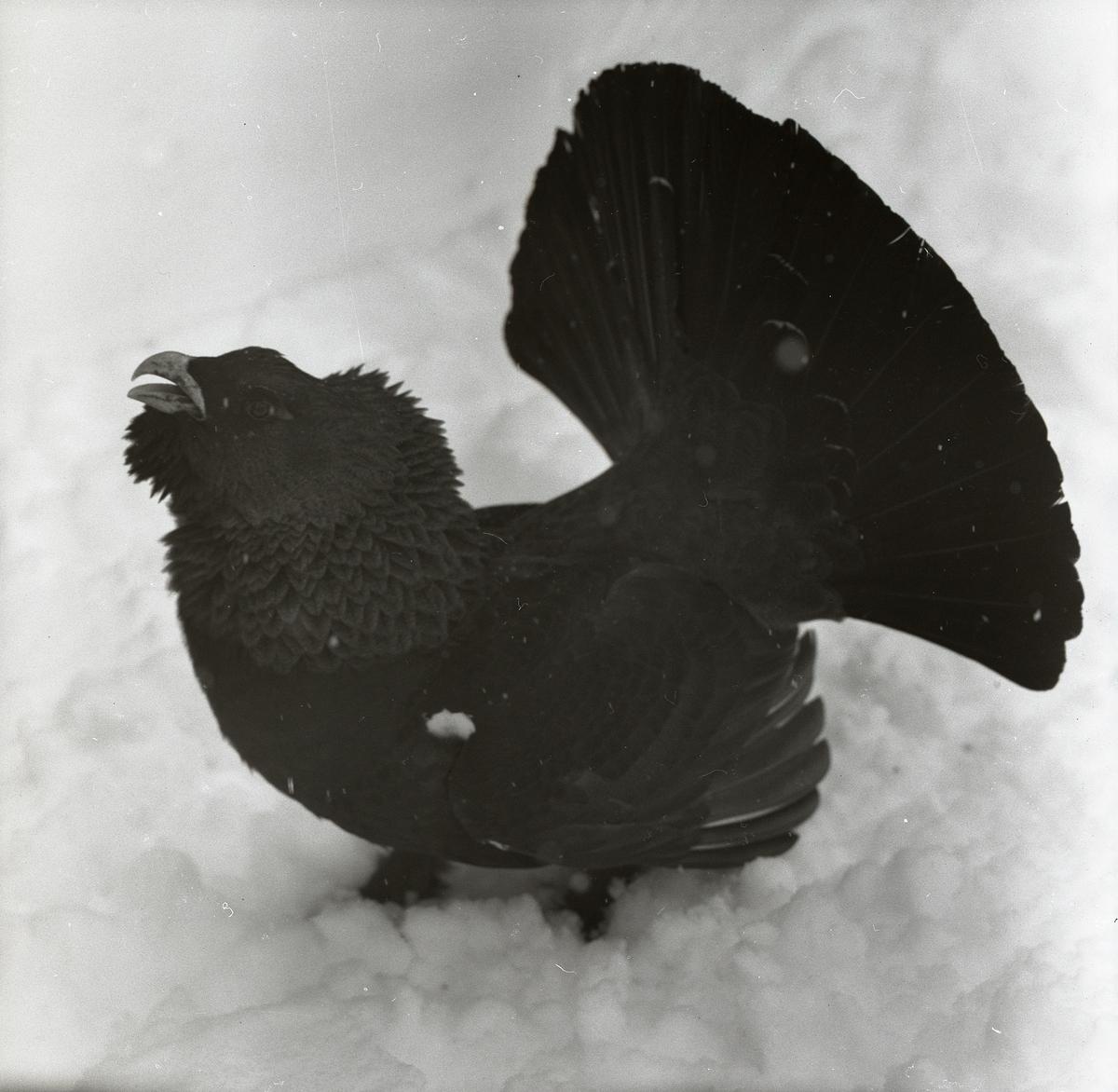 En tjäder står på den snöiga marken i Björktjära den 14 april 1956.