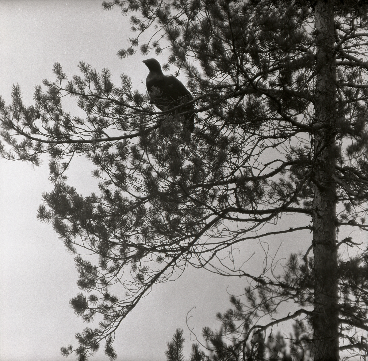 En tjäder sitter högt upp på en tallgren 22 oktober 1957.