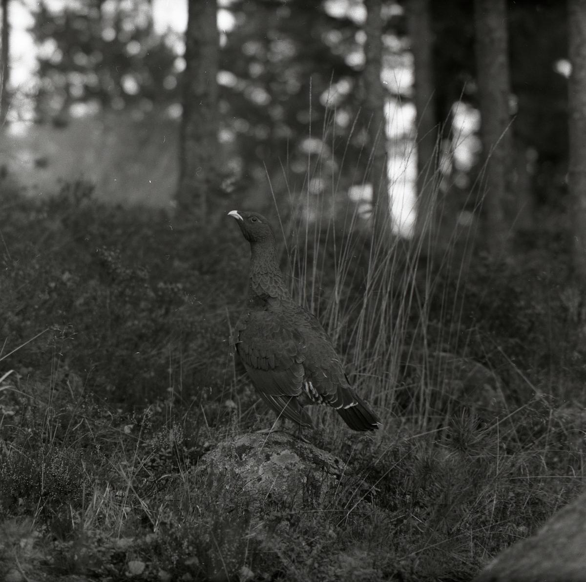 En tjäder sitter på marken på en sten, bland ljung och gräs i en skog, 22 oktober 1957.