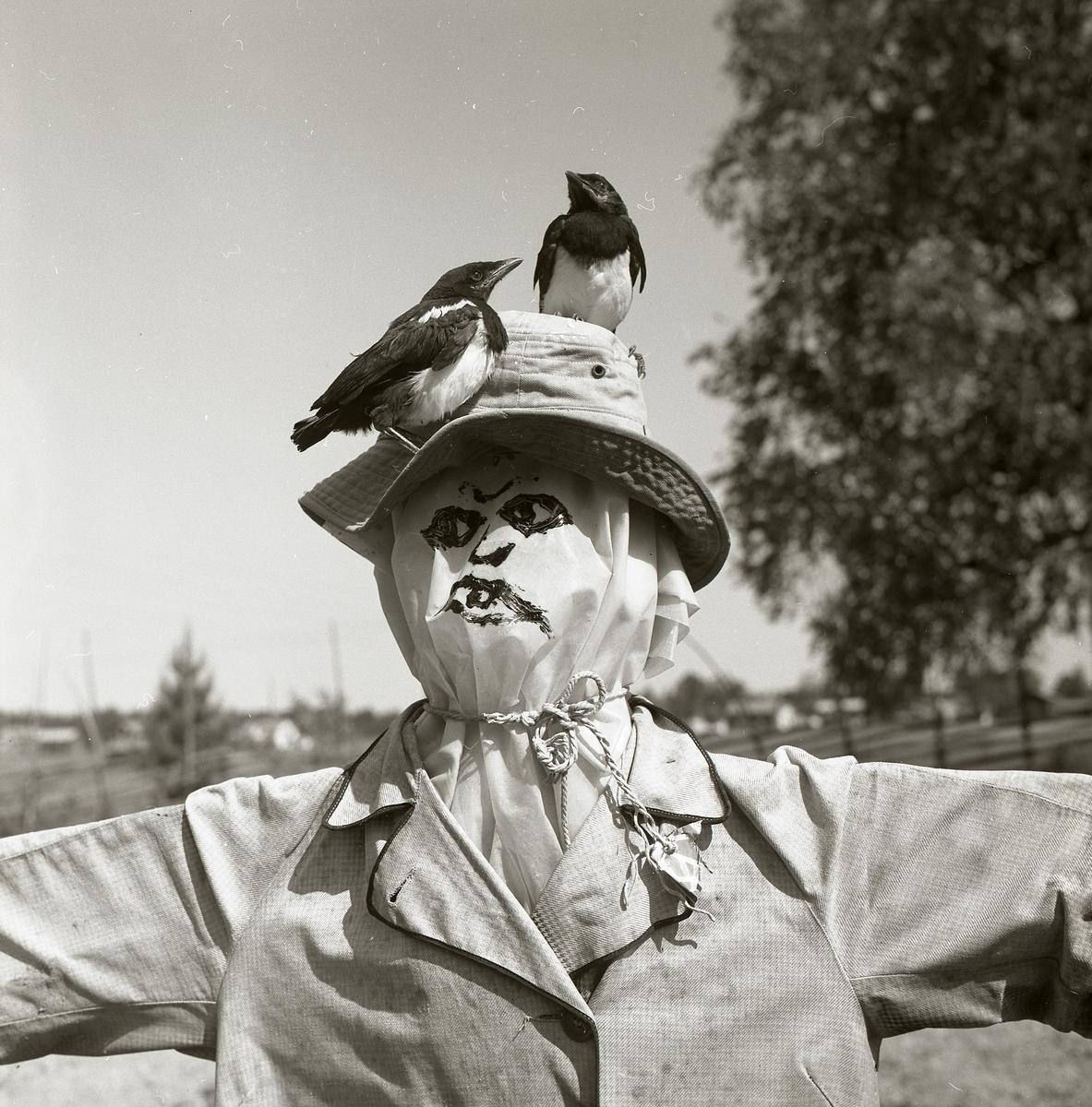 Skatungar på huvudet av en fågelskrämma framför en gärdesgård, sommaren 1969.