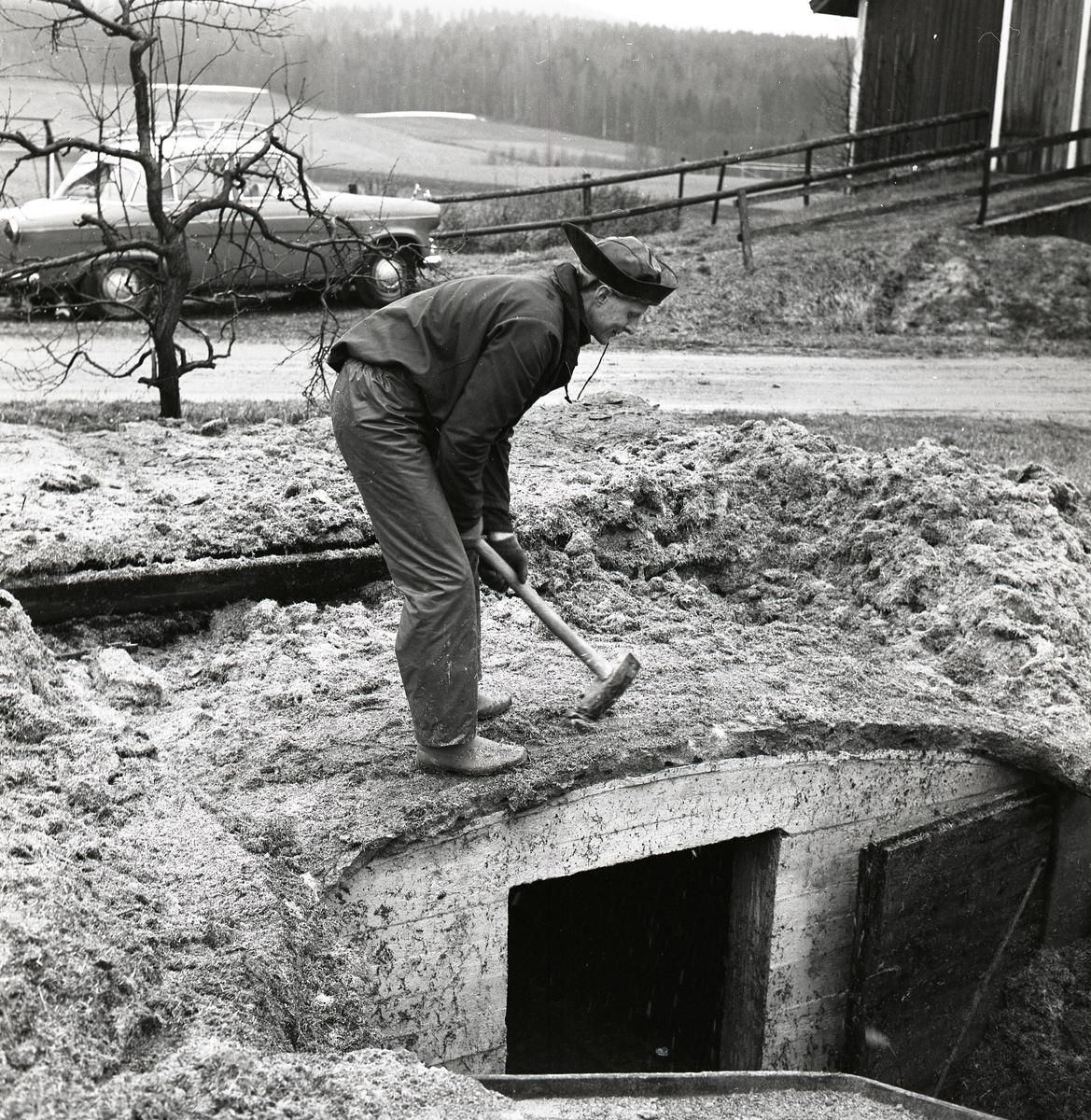 En man står framåt böjd och håller en slägga med båda händerna ovanpå en jordkällare, Sunnanåker 1968.