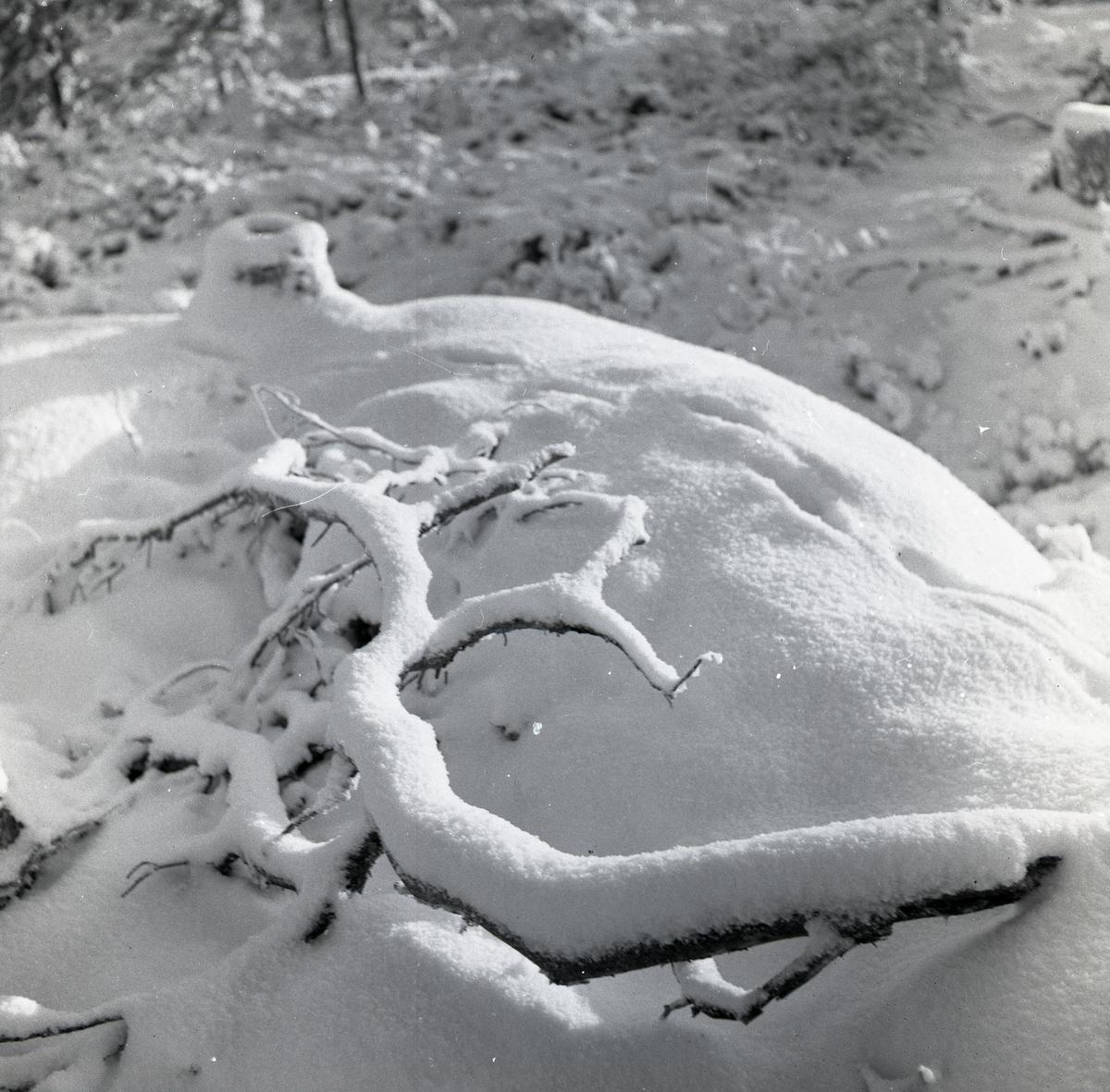 Översnöade grankvistar på marken, julen 1954.