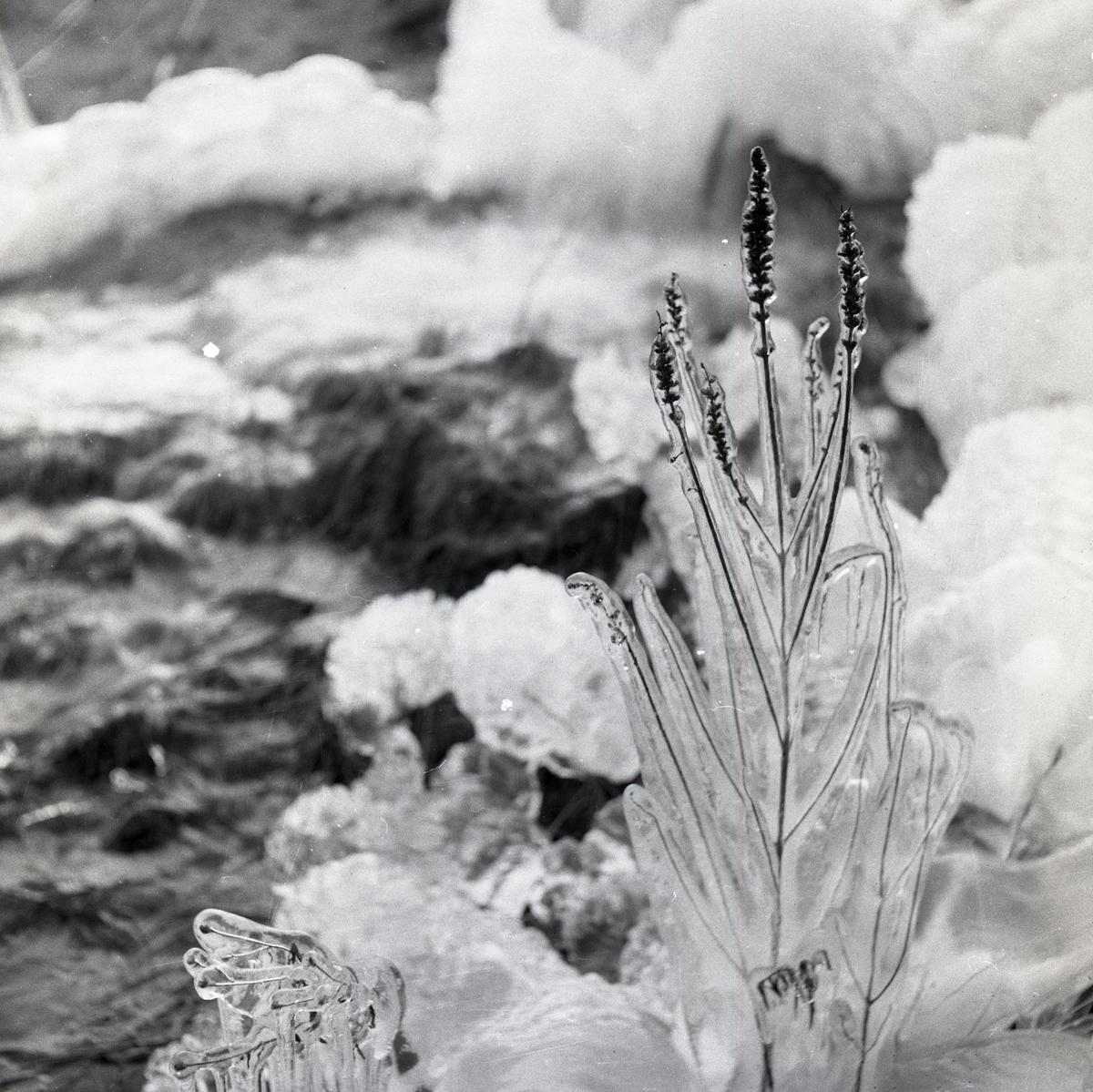Istäckt växt framför ett vattendrag, 23 november 1953.