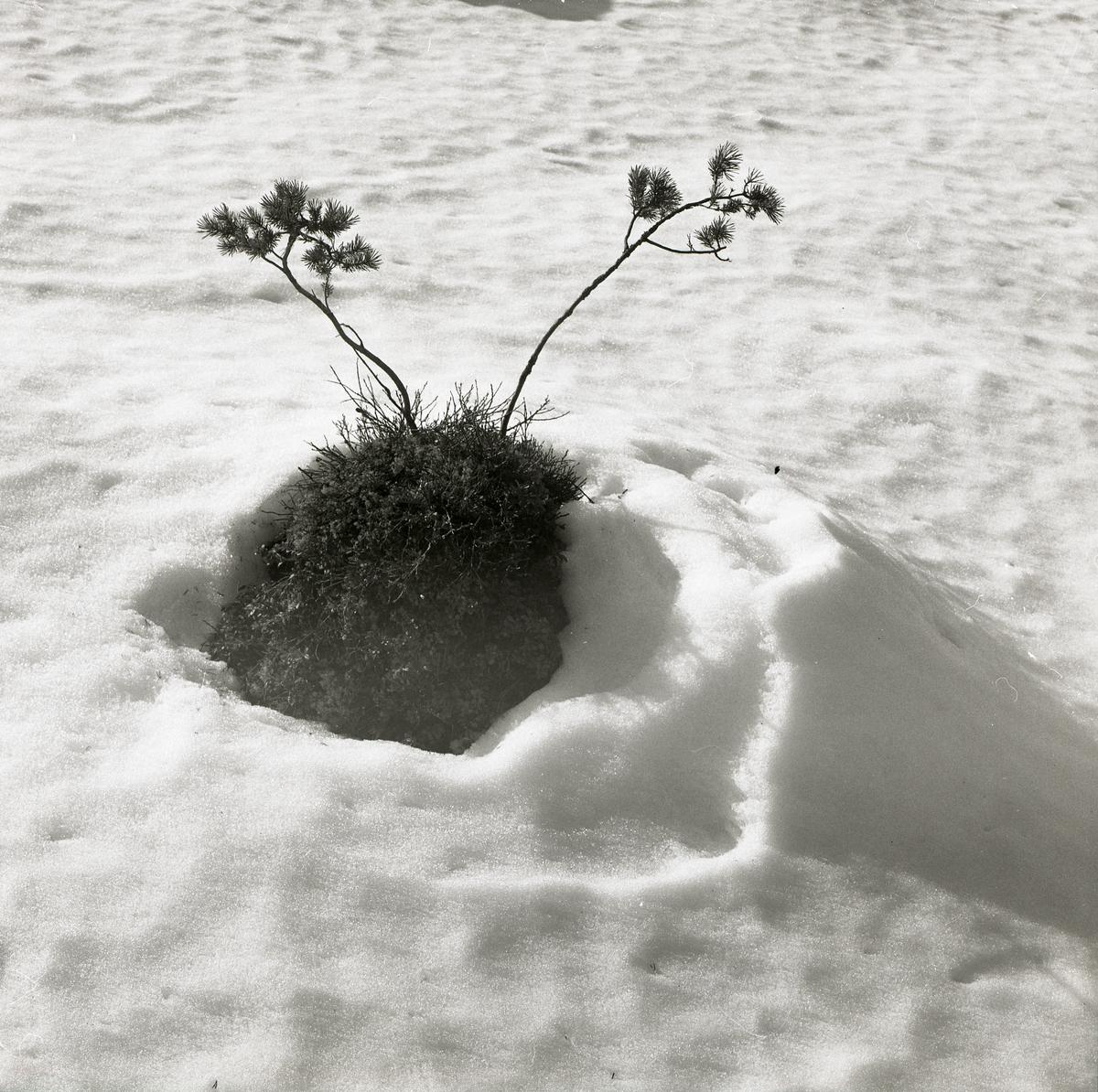 Två små tallar växer på en grästuva och sticker upp ur snön vid Stråsjön, april 1978.