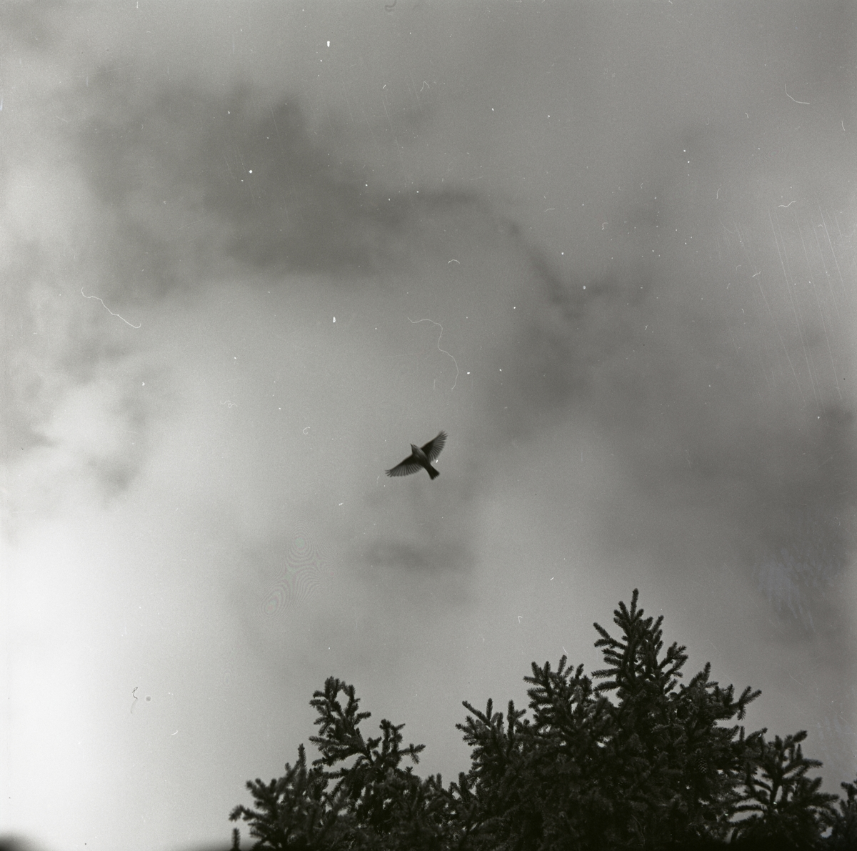 En trädpiplärka flyktspelar och flyger från en trädtopp, maj1962.